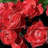 """Pflanzen Kölle Bodendeckerrose """"Sorrento - Leuchtend rot blühende Topfrose, im 6 L Topf - frisch aus der Gärtnerei Gartenrose"""