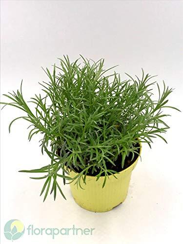 Currykraut Helichrysum augustifolia Kräuter
