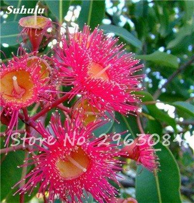 Vente! 100 pcs/sac rares Eucalyptus Graines géant Arbre tropical Graines Angiosperme pour jardin plantation en plein air Bonsai cadeau 4