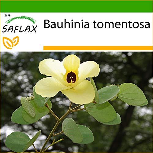 SAFLAX - Arbre aux tulipes - 30 graines - Avec substrat - Bauhinia tomentosa
