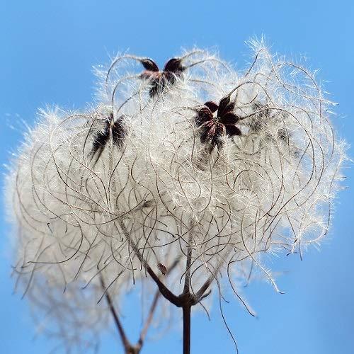 Clematis Vitalba (Waldrebe): Kletterpflanze - Weiß und Winterhart | ClematisOnline Kletterpflanzen & Blumen