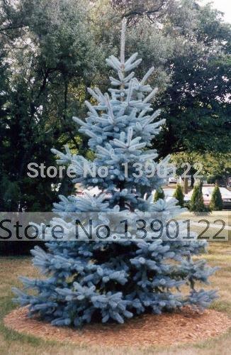 100 graines d'arbres rares Evergreen Colorado graines d'épinette bleue PICEA PUNGENS GLAUCA bon pour la croissance dans des pots, des jardinières de fleurs en pot