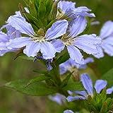 SANHOC Samen-Paket: Scaevola Crassifolia Thick-Leaved Fan Blumensamen (N 104)
