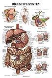 Laminated Digestive System Anatomical Chart - Gastrointestinal Anatomy Poster - 18' x 27'