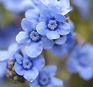 forget me not cynoglossum blue