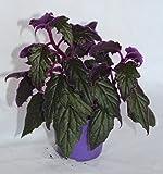 Gynura Aurantiaca Purple Passion (maceta 9 cm Ø) - Planta viva de interior