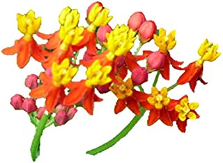 Bloodflower Milkweed Seeds Monarch Butterfly Weed Blood Flower #212 (50 Seeds)