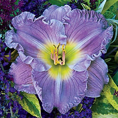 Starke Wachstumsgewohnheiten,Taglilie bevorzugt viel Sonnenlicht,blühende Terrassen,Taglilie wächst schnell,Taglilien Zwiebeln,Stauden,große Taglilie Zwiebeln-3 Zwiebeln
