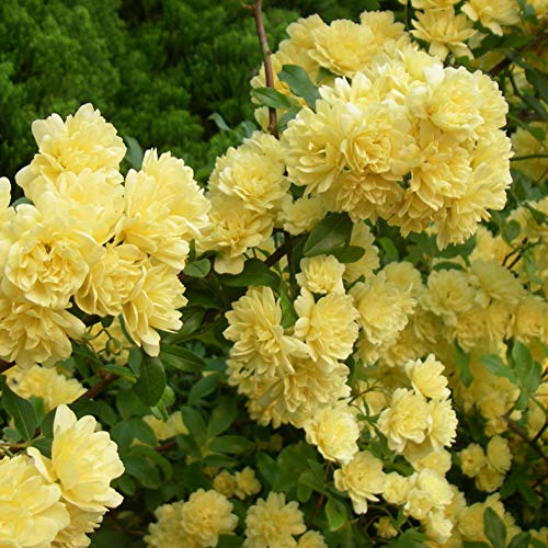 Yellow Rosa Seeds 100+ (Wild Rose) Easy Grow Organic Climbing Vine Flower Piante fresche Semi per piantare Giardino Outdoor Indoor