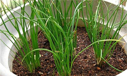 bateau gratuit Four Seasons petit balcon semences de légumes en pot parfumé graines échalote - 40 graines