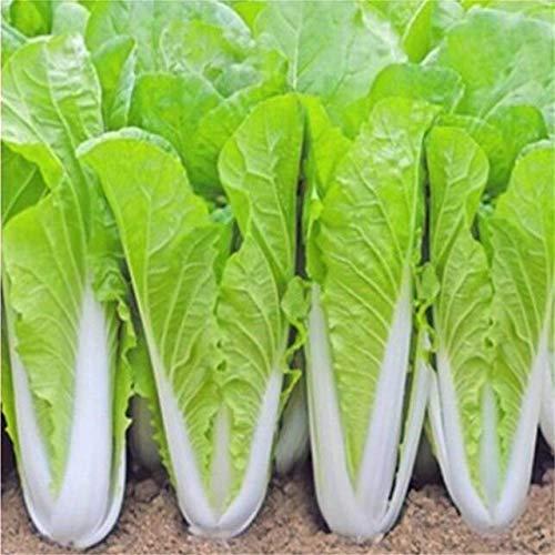 AGROBITS 200 graines/Hot Pack! Délicieux chou graines faciles à cultiver - Graines de légumes verts nourrissants ica Pekinensis s: chou A3