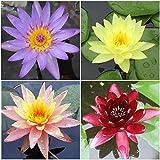 Water Lily Bundle - 4 Pre-Grown Hardy Lilies...