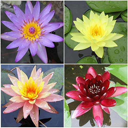 Water Lily Bundle - 4 Pre-Grown Hardy Lilies Rhizomes in Purple, Red, Yellow, Orange from AquaLeaf...