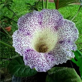 Hot Sale! 100pcs/bag Gloxinia Seeds Perennial Flowering Plants mixed color flower seeds Sinningia Speciosa Bonsai Balcony Brown
