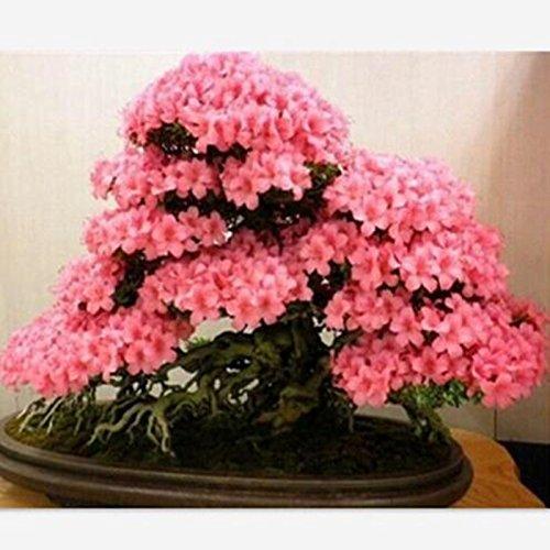 plantes 10PCS graines de sakura rare bonsaï fleur Cherry Blossoms arbre graines de fleurs de cerisier Bonsai pour la maison et le jardin