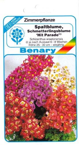 Spaltblume, Bauernorchidee, Schmetterlingsblume, Schizanthus wisetonensis, ca. 40 Samen