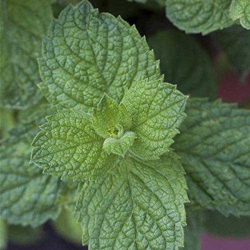 Apfelminze Minzpflanze Mentha suaveolens 'Apple Mint' im Pflanzcontainer