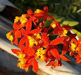 Cutdek 2 Epidendrum~ Orchids~ Orange & Yellow Flower Color 5