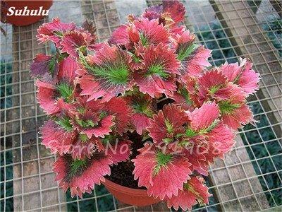 Janpanse Bonsai coleus Graines 50 Pcs Plantes feuillage couleur parfait arc Graines Belle Mixed Flower Garden plante Sement 21