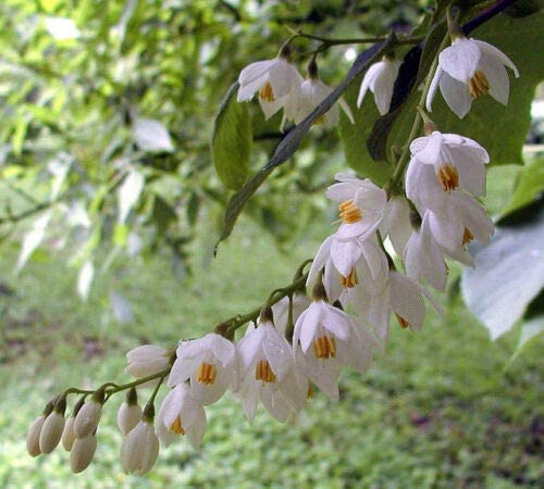 Cheap sale Fresh Seeds - Fragrant Snowbell 4 obassia S Styrax Tree Limited time for free shipping