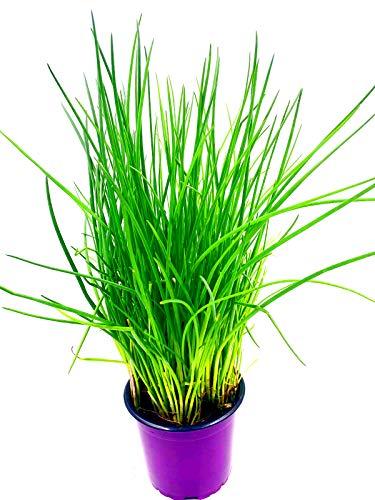 Schnittlauch Pflanze, Allium schoeneprasum Kräuter Pflanze 1stk.