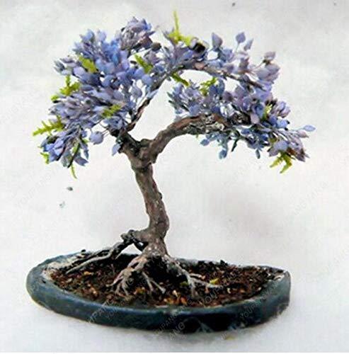 Pinkdose 20 bonsaïs/pack 100% vrai fantôme japonais Blue Tree Maple BONSAĪ Acer palmatum atropurpureum, Bonsai SOW TOUTE L'ANNEE: Brown