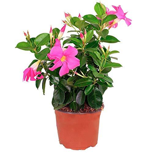 Dipladenia Planta Natural con Flores de Colores Surtidos en Maceta de 15cm Mandevilla Enredadera de Exterior