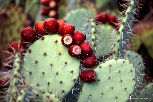 4 Easy-to-use Miniature Prickly Pear Cactus Succulent Terrarium New life Rock or Fai