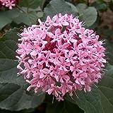 Clerodendrum Bungei- Losbaum, Ruhmesblume 50-60 cm Pflanzcontainer