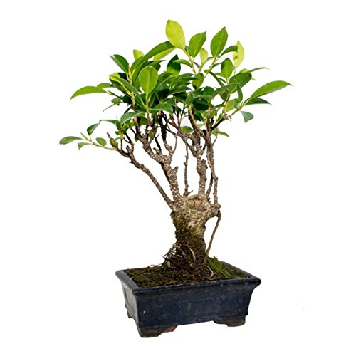Ficus retusa 5 años