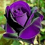 Bonsai roses. 200PC Germany rare purple dragon rose seeds. Flowering plants