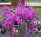 Aporocactus flagelliformis (ratti tail cactus) x 2 talee Vendiamo semi non solo la pianta. Il prezzo include funzioni customes Seeds è il pacchetto completo. Trasporto che a livello internazionale