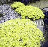 Generic Fresh 100 pcs semillas de flores ROCK CRESS para plantar amarillo limón