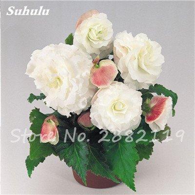 New Balkon Anlage 20 PC bunte Begonien-Blumen-Samen Seltene Rose Rieger Begonia Blume Begonia Indoor Bonsai Pflanzen für Garten 9