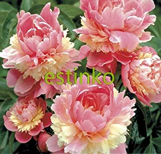 Hot Sale! 10pcs/lot Rare Heirloom Sorbet Robust Colorful Double Blooms Peony Tree Seeds Bonsai Plant Home Garden - Arcis New