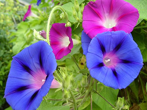 Tall Morning Glory Seed Mix, 100+ Premium Seeds, Beautiful & Gorgeous! Ipomea purpurea, (Isla's Garden Seeds), Highest Quality, Highest Purity, 85-90% Germination Rates, Highest Quality Seed