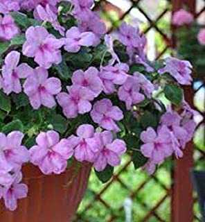 25+ Accent Lavender Blue Impatiens/Annual Flower Seeds/Shade Loving