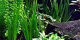 3ramos de Vallisneria, plantas para acuario