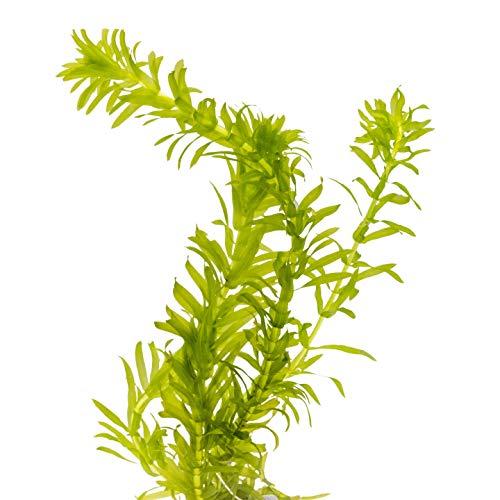 AQ4Aquaristik 1 Portion Dichtblättrige Wasserpest, Egeria densa, Wasserpflanze für Urzeitkrebs Becken, Teich und Aquarium, anspruchslos und schnellwüchsig