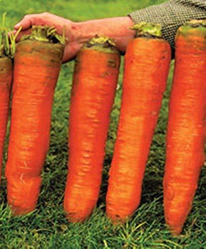 Portal Cool 30 Stück nsamen-Red Giant Bio Russian Erbstück Gemüse nsamen Für Prtanwender