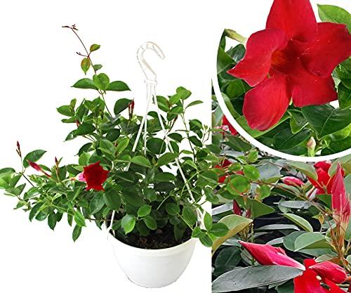 Isenzo Mandevilla - Große Pflanze im Topf - Kletterpflanze Sundavilla Dipladenia 3 Stecklinge, blühend ROT