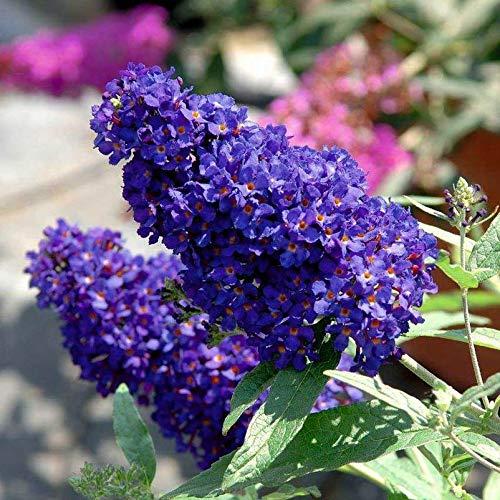 Kölle's Beste! Zwerg-Schmetterlingsstrauch, Buddleja davidii Buzz™ 'Midnight'(s), Schwarzblau, Topf 5