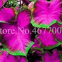 50Pcs Exotic Thailand Caladium Bicolor Seeds Balcony Burnt Rose Elephant Ear Flower Perennial Herbs Seeds Home & Garden : 14