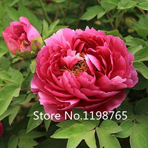 2016 Graines New Arrival China National Flower pivoine plantules, rose, rouge et de couleur blanche, 10 Graines / Paquet, Lumière Fragrant Garden F