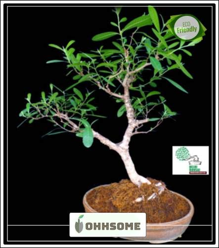 FERRY Hohe Wachstum Seeds Nicht NUR Pflanzen: Saatgut von s Arjuna (Terminalia Arjuna) Samt für Gärten Samen Garten-Pack Seed (10 pro Paket)