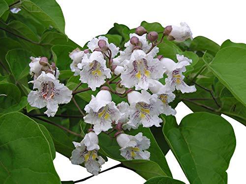 Trompetenbaum **Catalpa bignonioides** 500 Samen