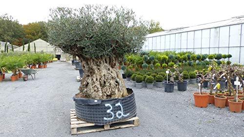 Nr. 32 genau dieser: Mega Olivenbaum, Stamm 260 cm!, knorrige alte urige Olive winterhart