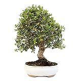Bonsái Quercus Suber Alcornoque Mediterráneo 7 Años Planta Natural