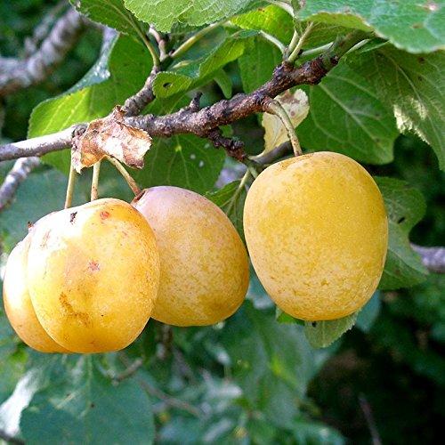 Prunier 'Reine-Claude d'Oullins' - Prunus domestica jaune AUTOFERTILE