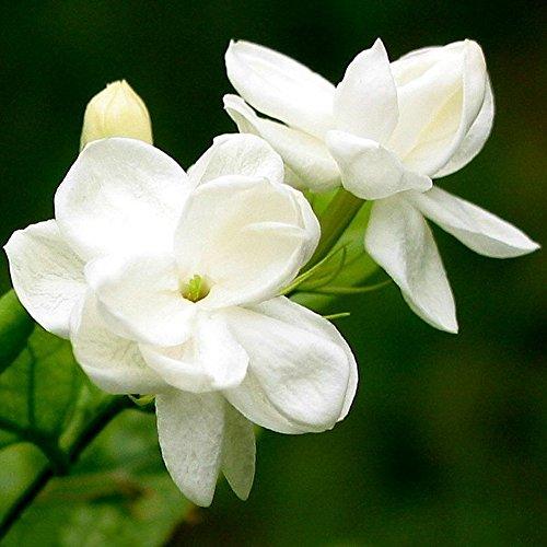 Singeru 20 Stk Jasmin Blumen Samen Weiße Jasminsamen duftende Zimmerpflanzen Blumen Samen